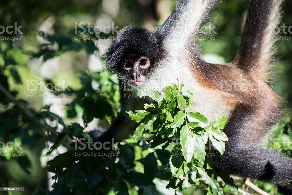 Geoffroy's spider monkey stock photo