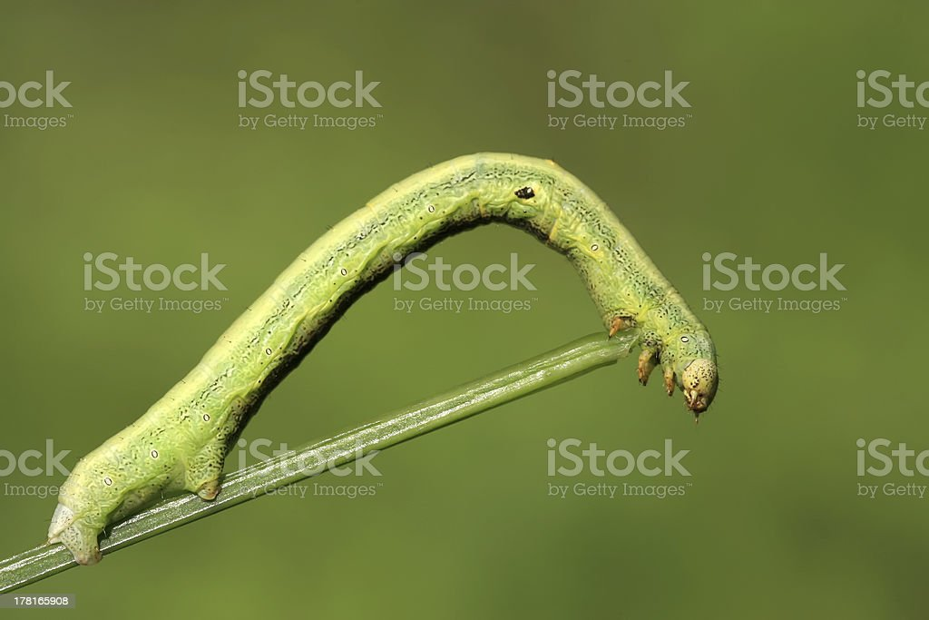 geometrid - a kind of insects royalty-free stock photo