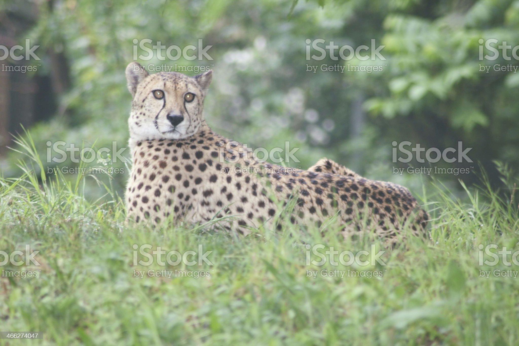 Gepard  Cheetah  (Acinonyx jubatus) royalty-free stock photo