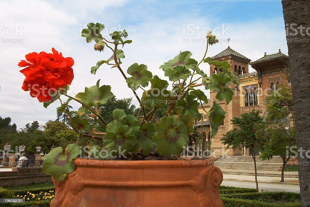geranium and flowerpot royalty-free stock photo