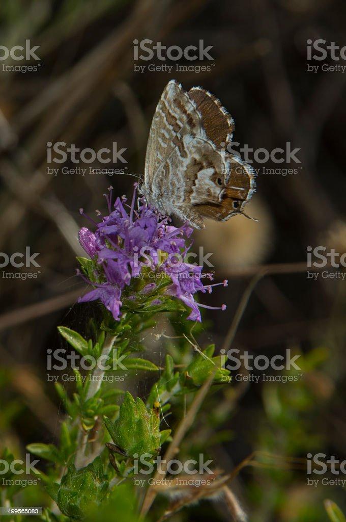 Geranium Bronze butterfly royalty-free stock photo