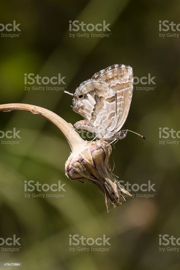 Geranium Bronze butterfly resting on flowerhead royalty-free stock photo