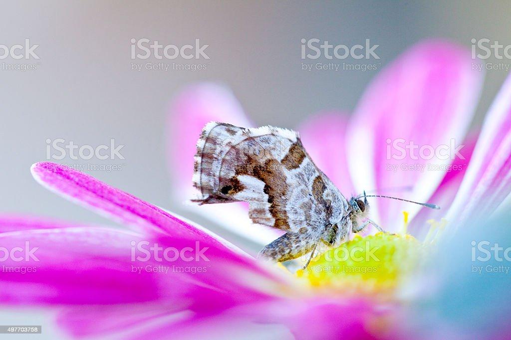 Geranium bronze  (Cacyreus marshalli) stock photo