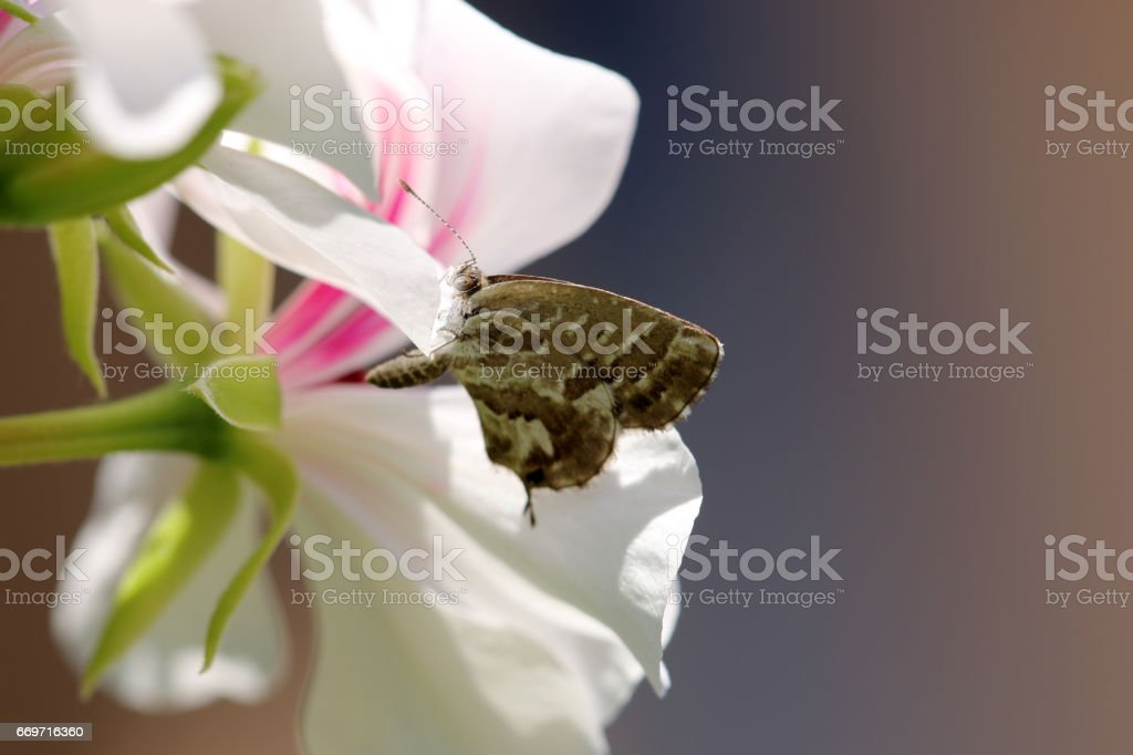 Pelargonien-Bläuling stock photo
