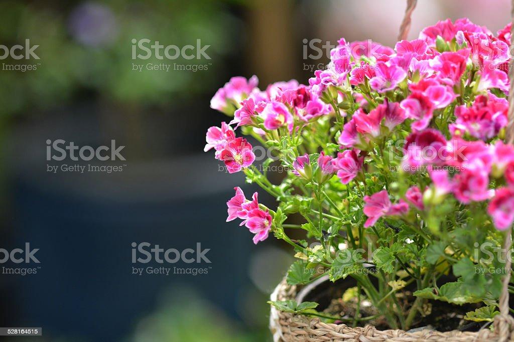 Geranium flower Basket stock photo