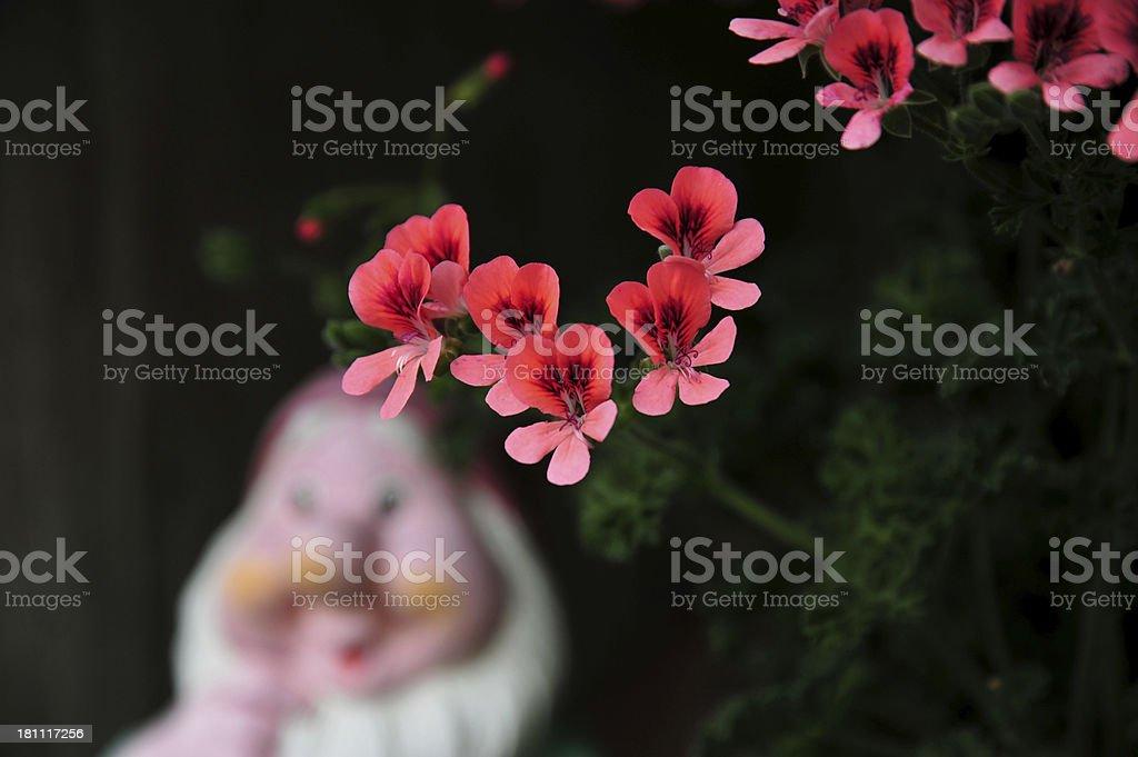 Geranium flower blossoms stock photo