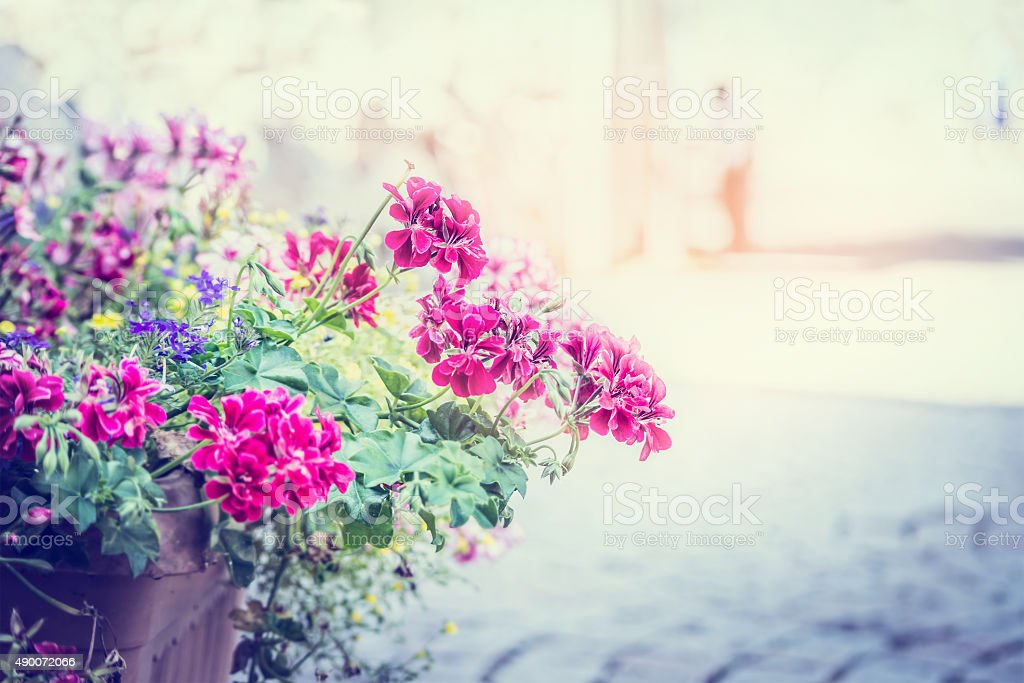 geranium flowers in a pot street solar background blur city stock photo