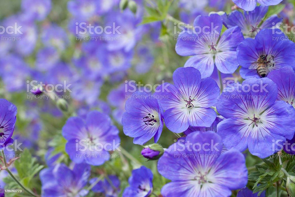 Geranium flowers stock photo
