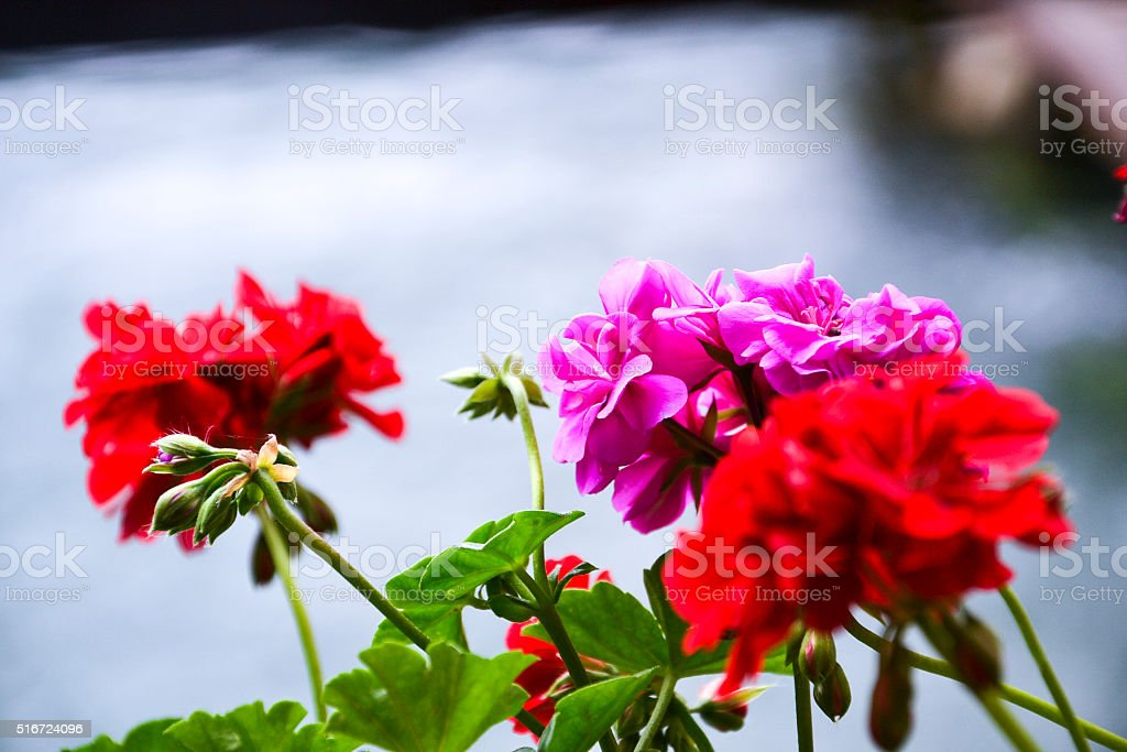 Geranium flowers stock photo