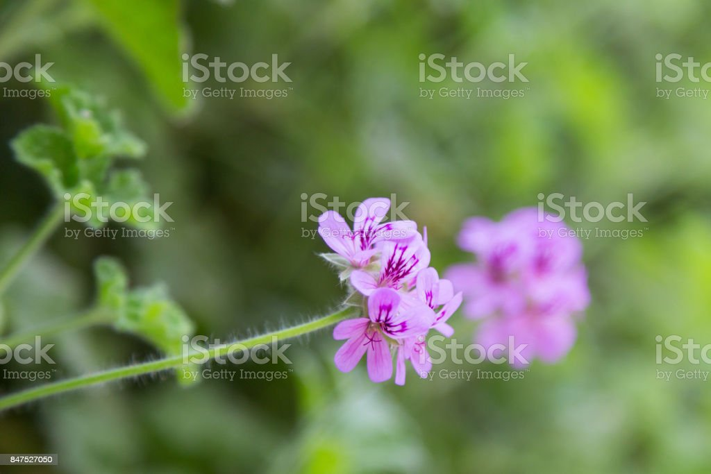 geranium fresh flower on plant in garden in sunny day stock photo