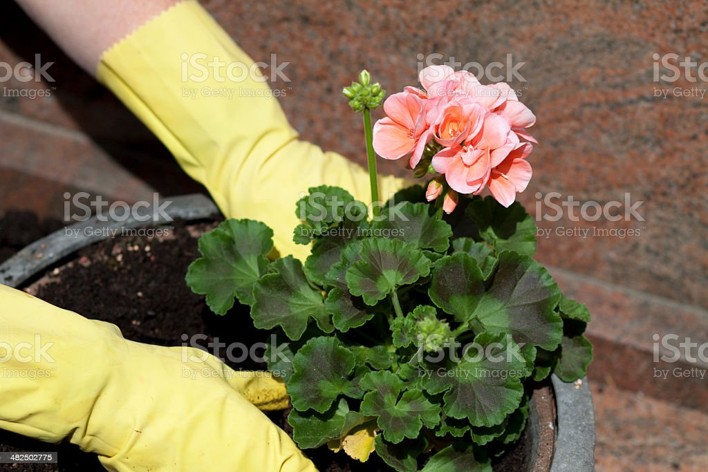 Geranium in flower bowl and gloves stock photo