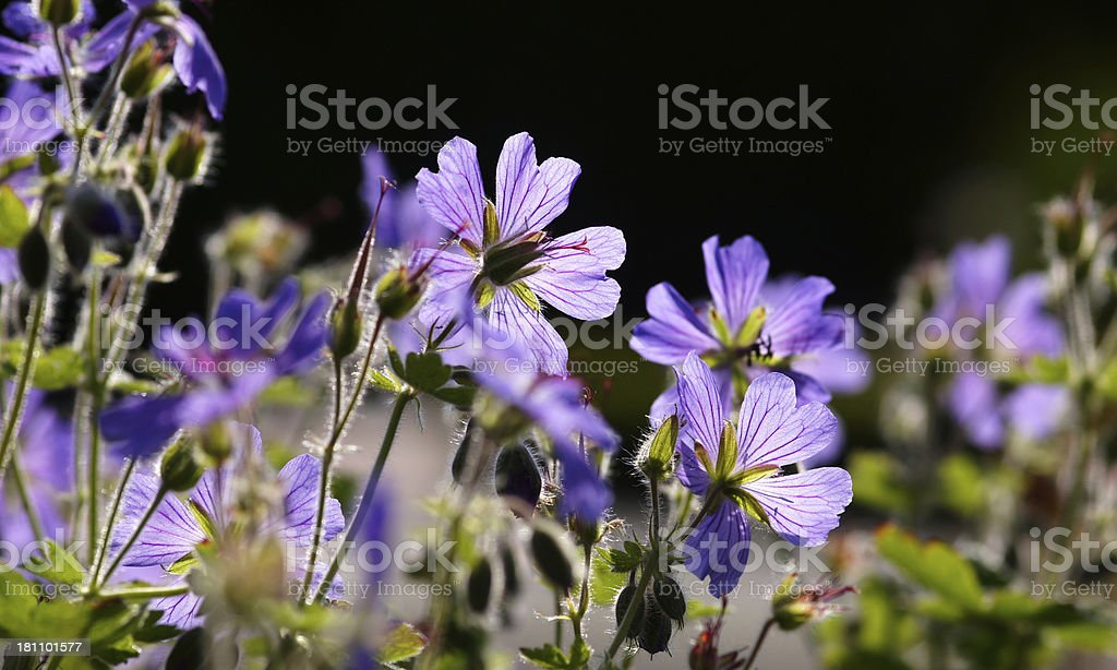 Geranium in the counter-light royalty-free stock photo