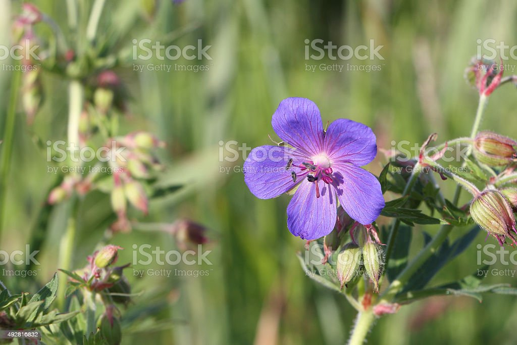 Geranium meadow on a summer glade stock photo
