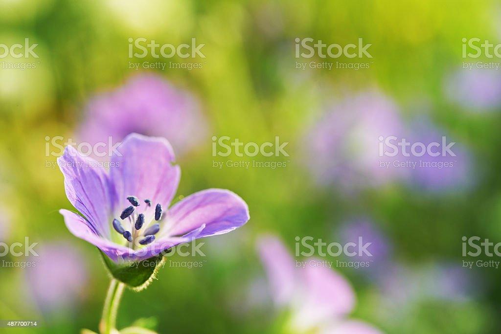 Geranium meadow stock photo