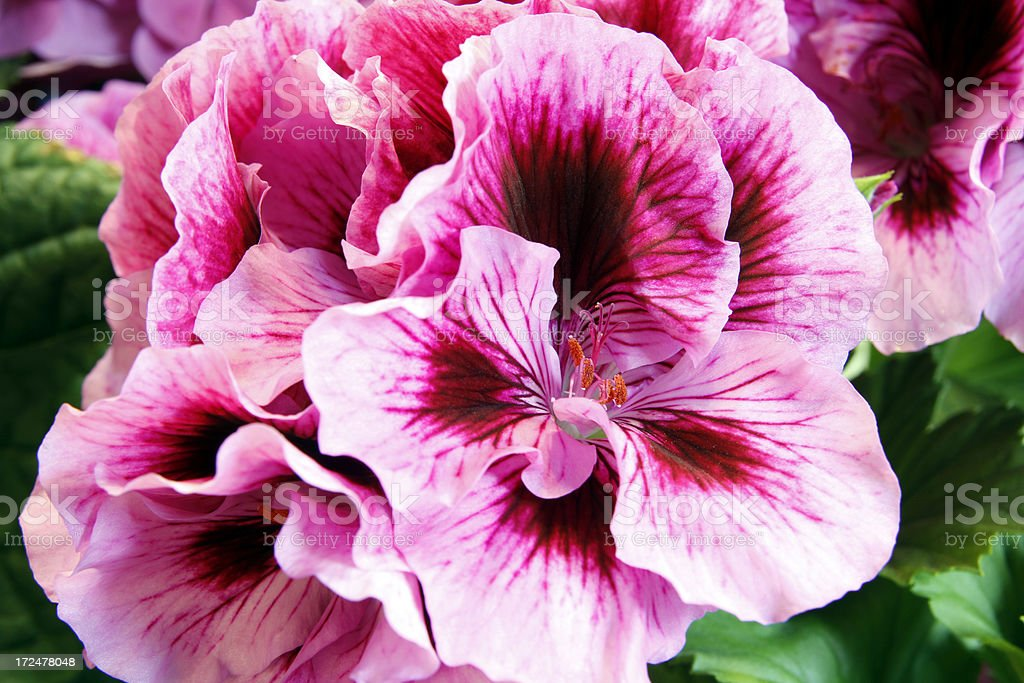 Geranium royalty-free stock photo
