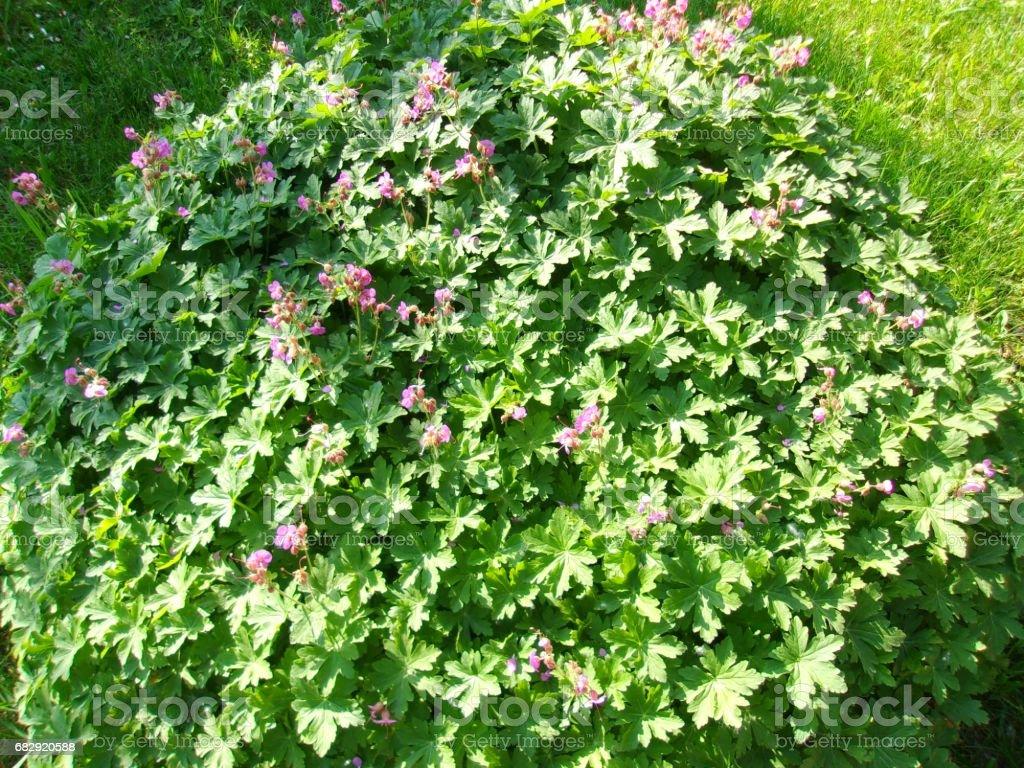 Geranium Plant stock photo