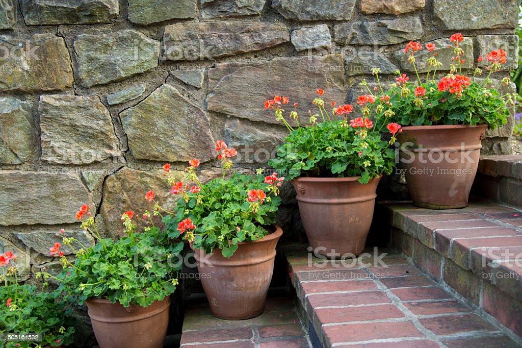 Geranium pots stock photo