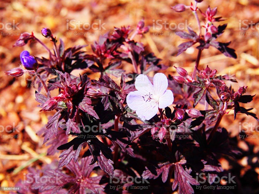Geranium pratense 'Dark Reiter' stock photo