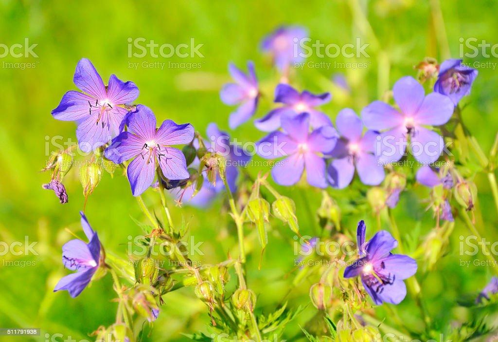 Geranium pratense flowers stock photo