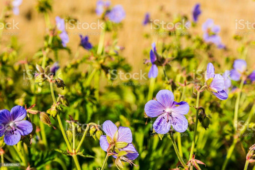 Geranium pratense, meadow crane's-bill, meadow geranium. stock photo