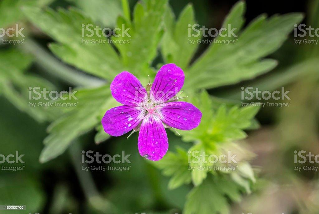 Geranium pratense stock photo