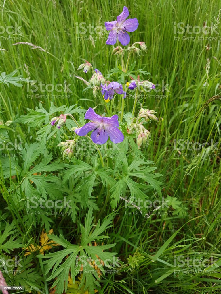Geranium pratense stock photo