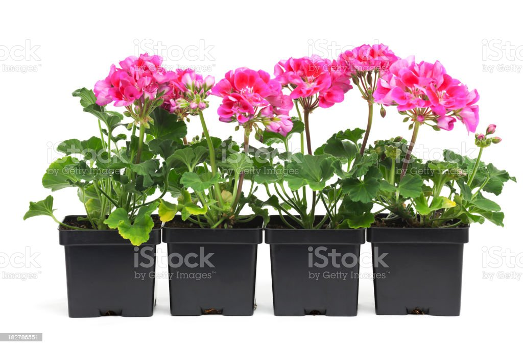 Geranium Seedling Plants in Retail Plastic Container Pot on White stock photo