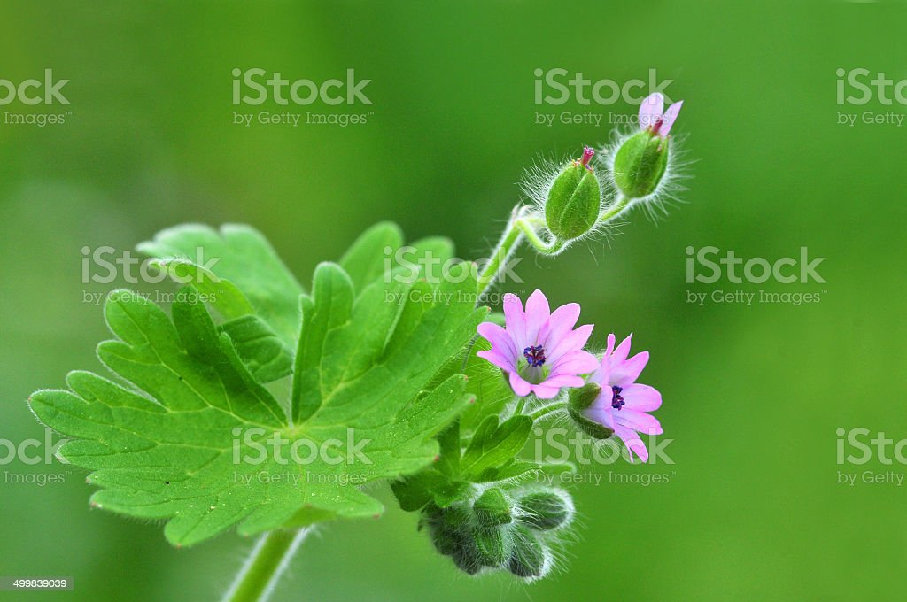 geranium molle stock photo