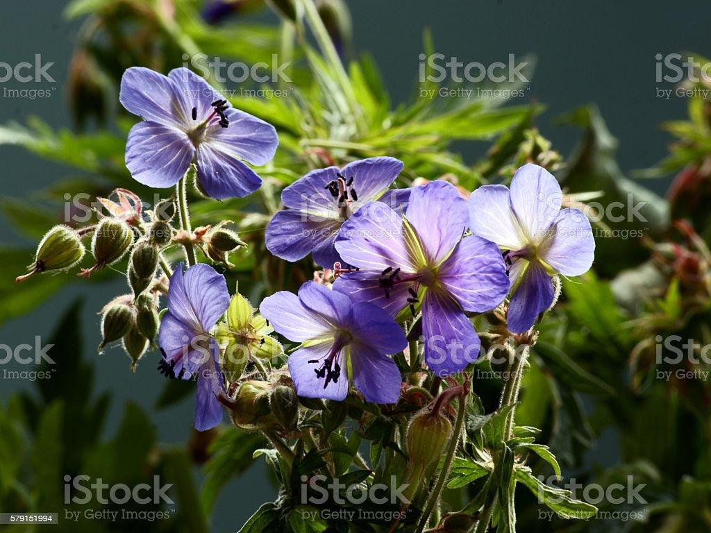geranium wild plant with blue flowers stock photo