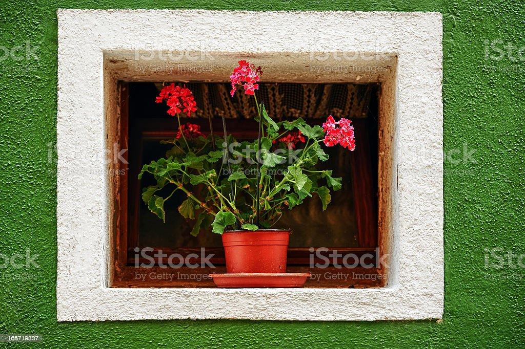 Geranium with Windows royalty-free stock photo