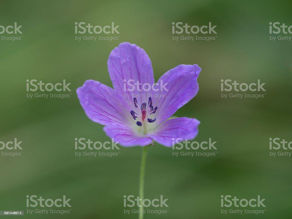 Geranium yesoemse var. nipponicum blooms stock photo
