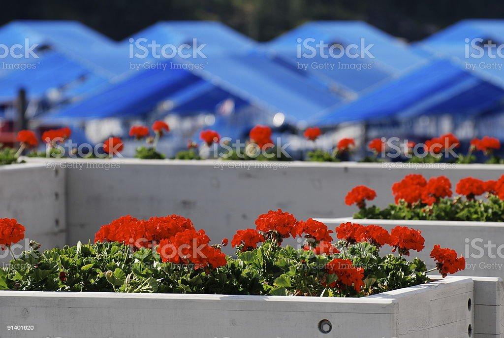Geraniums and marina stock photo