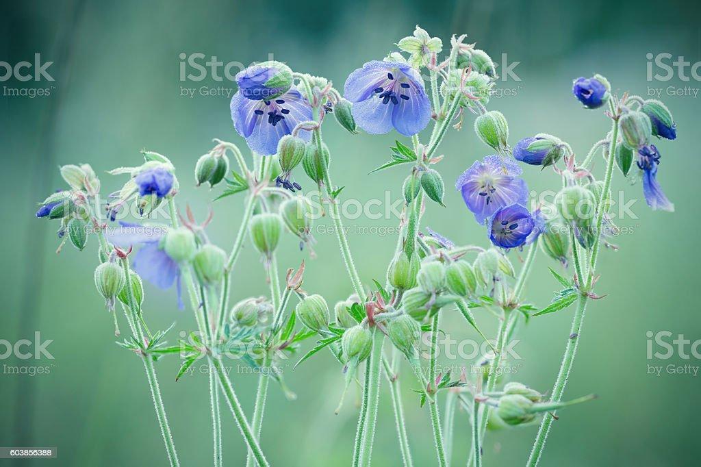 geraniums meadow stock photo