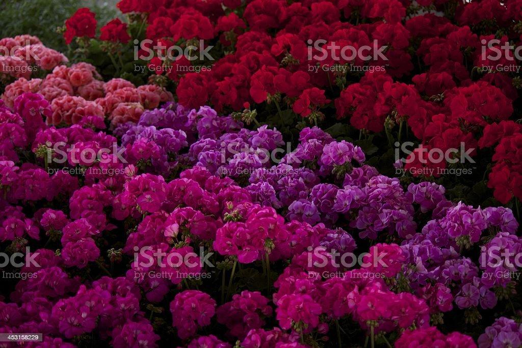 Geraniums royalty-free stock photo