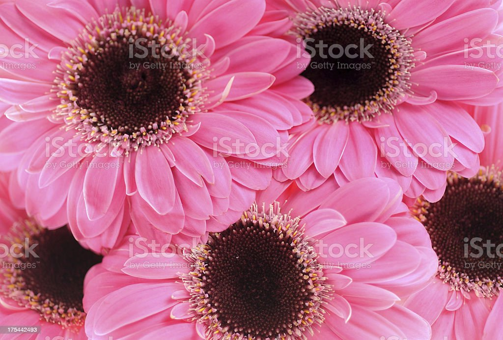 Gerber Daisies stock photo