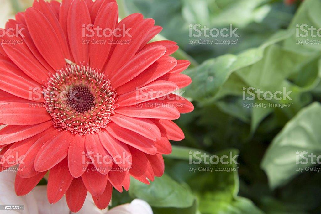Gerber Daisy Garden royalty-free stock photo