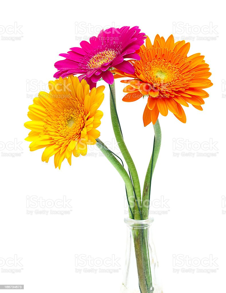 Gerber Daisy isolated on white background royalty-free stock photo