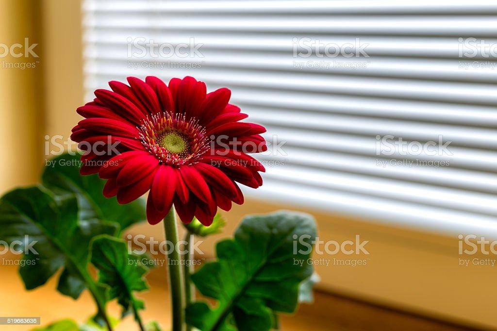 Gerber flower close to window stock photo