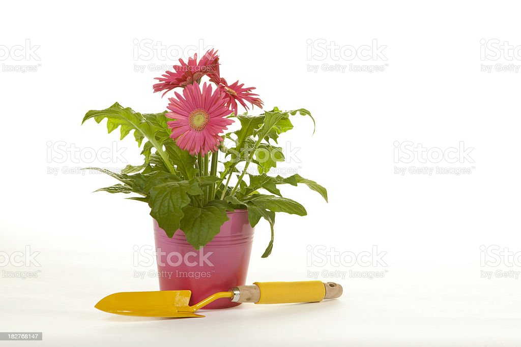 Gerbera Daisies and Trowel royalty-free stock photo