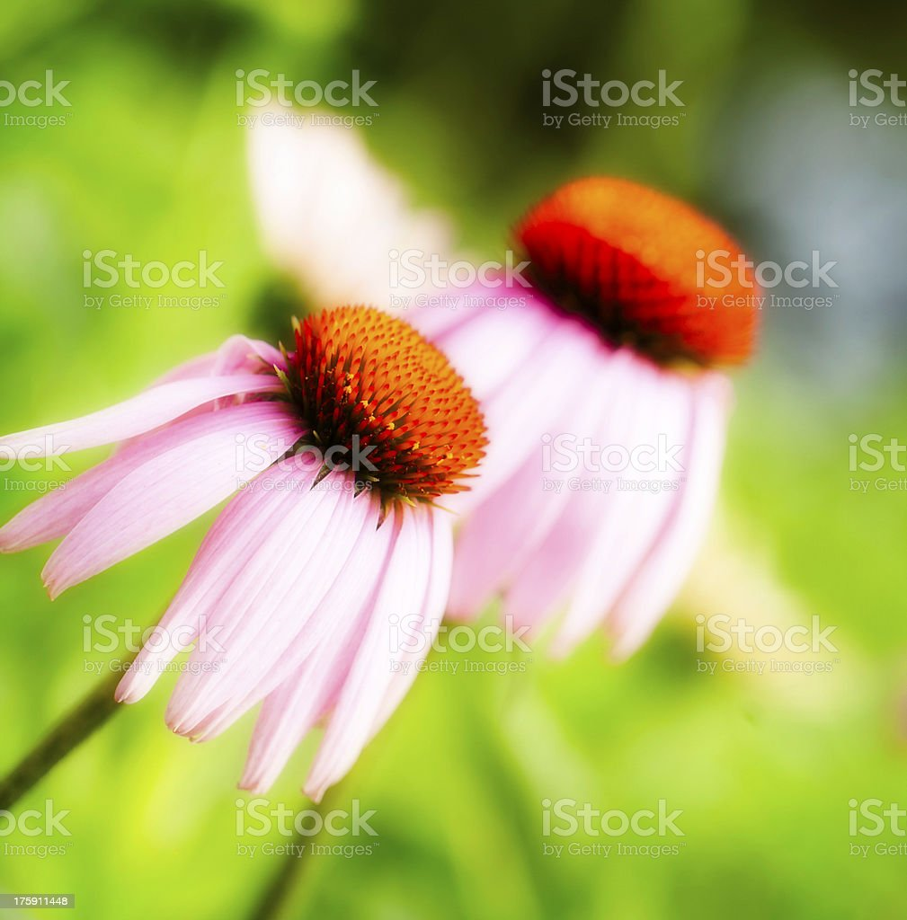 Gerbera Daisies royalty-free stock photo
