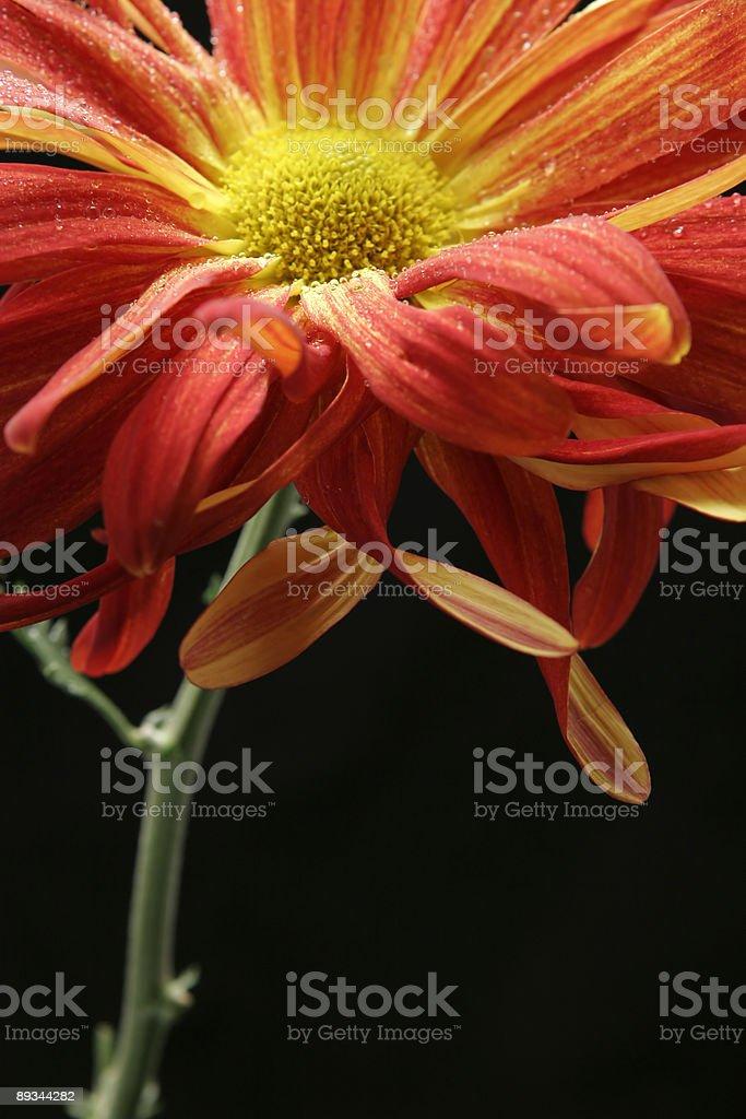 gerbera daisy against black background royalty-free stock photo