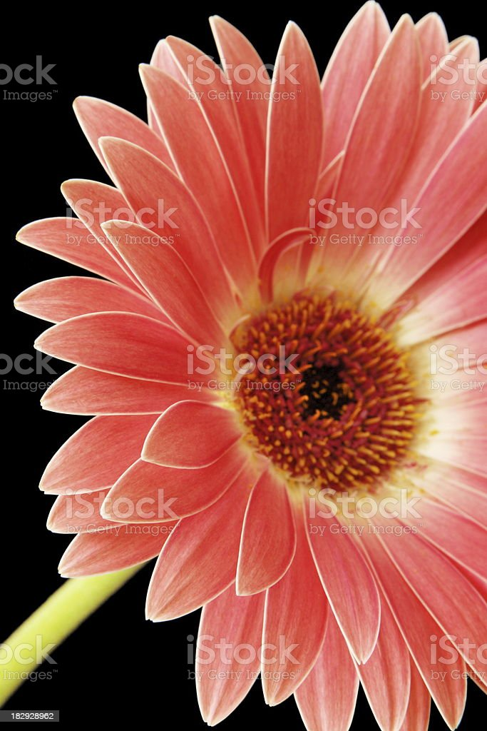 Gerbera Daisy Asteraceae Flower Blossom royalty-free stock photo