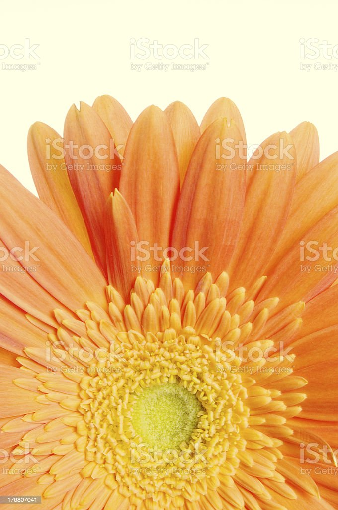 Gerbera Daisy Background Macro Series royalty-free stock photo