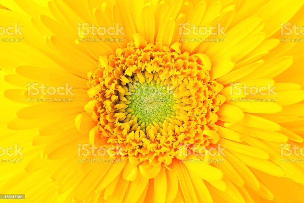 Gerbera daisy flower close up royalty-free stock photo