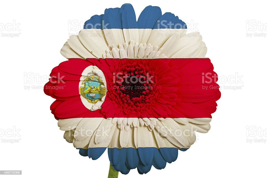 gerbera daisy flower in colors national flag of costa rica stock photo