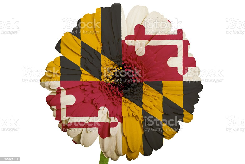 gerbera daisy flower in colors national flag of maryland stock photo
