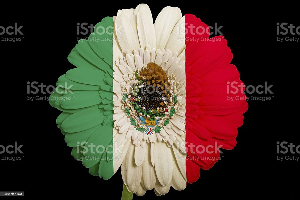 gerbera daisy flower in colors national flag of mexico stock photo