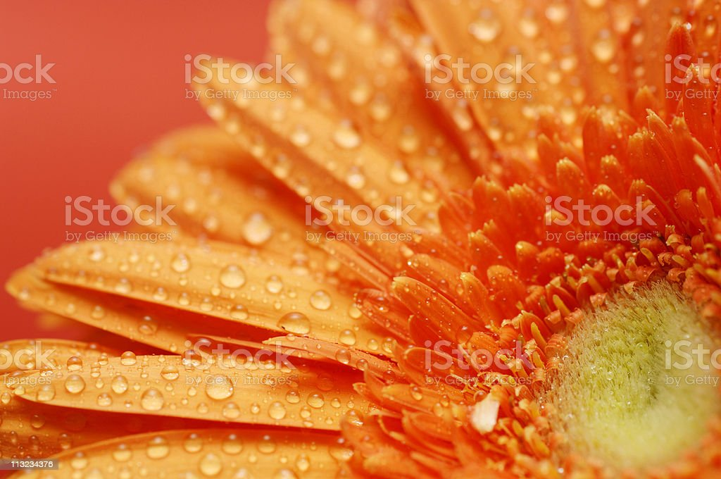 gerbera daisy flower petals covered in water droplets royalty-free stock photo
