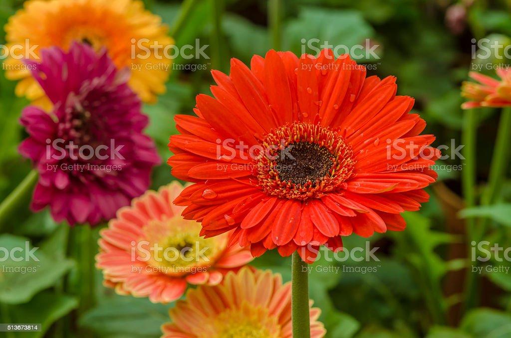 gerbera daisy flower stock photo