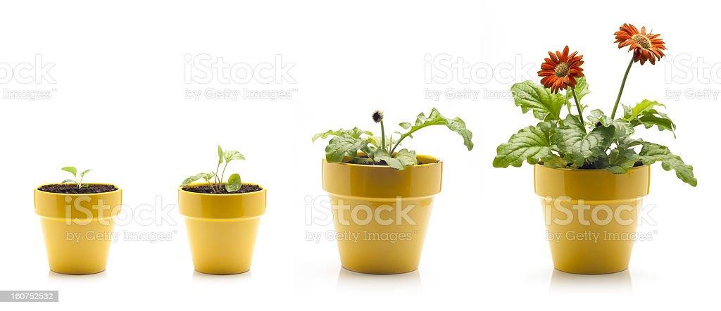 Gerbera Daisy Growing stock photo